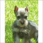 Mini Schnauzer gray puppy dog