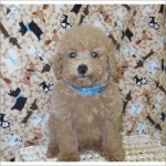 Poodle Puppy - male