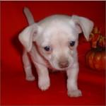 Chihuahua -(F)