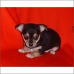 Chihuahua -(M)