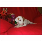 Female Jack Russell