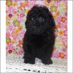 Toy Poodle (M)