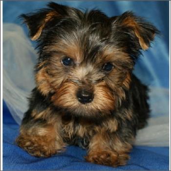 Yorkie M 563548 Pet Grooming Pet Food Supplies Abrabadabra