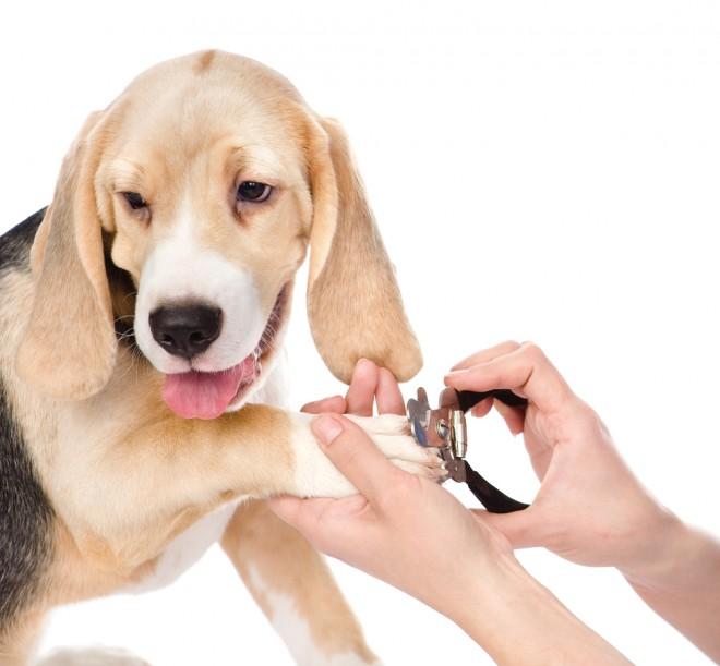 Beagle Nail Trim